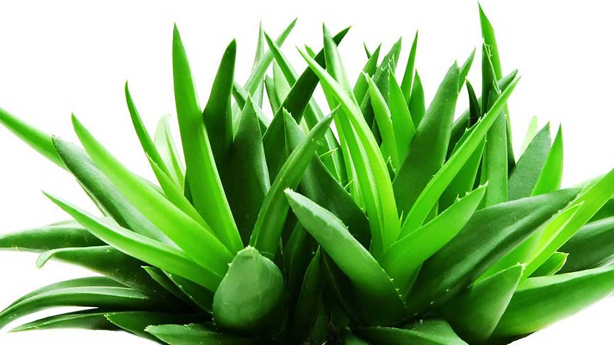 aloe vera plant - All about sustainable and organic gardening tips and tricks. 2021 - planting - https://organicgardeningeek.com/planting/page/4/