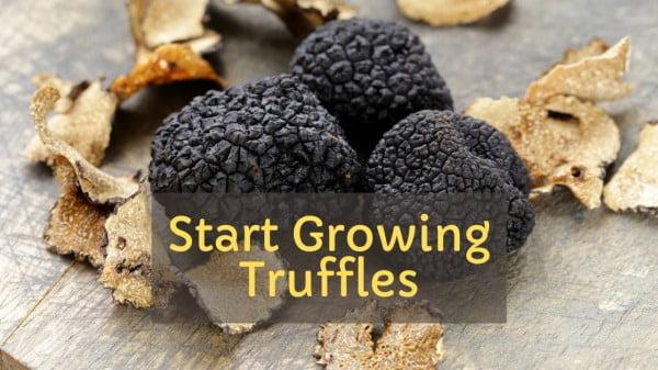 How to start growing truffles easily https://organicgardeningeek.com