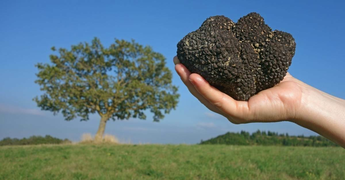 Best trees to grow truffles - how to cultivate truffles in your own garden https://organicgardeningeek.com
