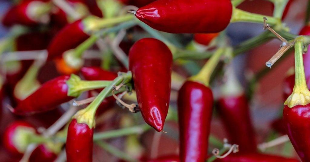 cayenne pepper https://organicgardeningeek.com