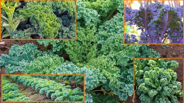 sowing kale seeds outdoors | grow kale best https://organicgardeningeek.com