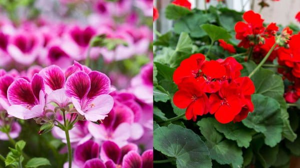 Geraniums Growing infographic - All about sustainable and organic gardening tips and tricks. 2021 - Purple Coneflower,pale Purple Coneflower,Herbal Use of Caneflower,How to propagate coneflowers,how to propagate coneflowers from seed - https://organicgardeningeek.com/purple-coneflower-growing-conditions/