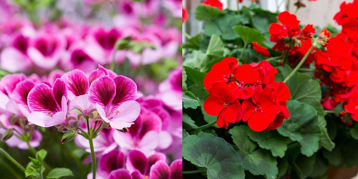 Geraniums Growing infographic - All about sustainable and organic gardening tips and tricks. 2021 - Growing Yarrow Plant,Containers and Naturalizing,Achillea millefolium,Red Velvet Achillea millefolium - https://organicgardeningeek.com/growing-yarrow-plant/