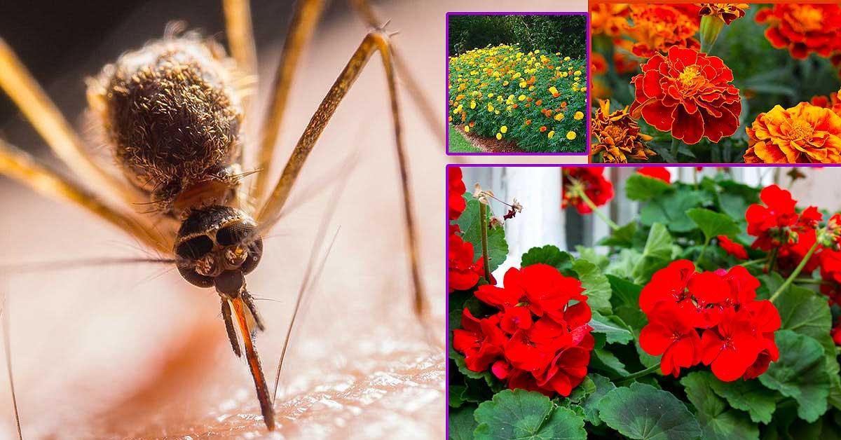 natural mosquito repellent plants infographic https://organicgardeningeek.com