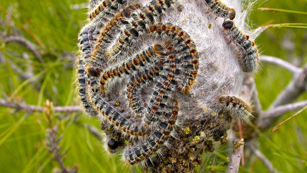 oak processionary moth https://organicgardeningeek.com