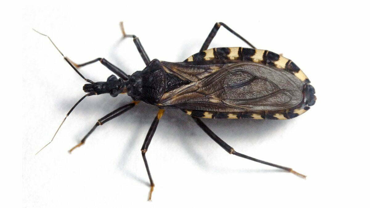 chagas bug parasite | chagas disease bug is arriving at Europe https://organicgardeningeek.com