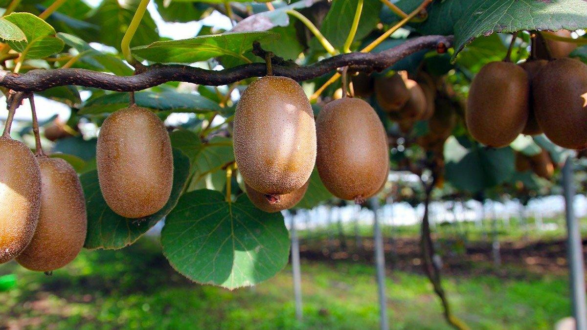 Kiwi fruit tree explained from planting to harwesting kiwifruit https://huglero.com