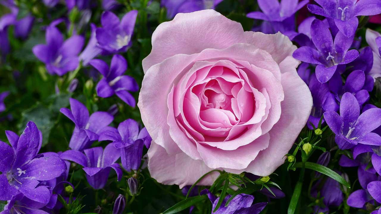 Rose Growing