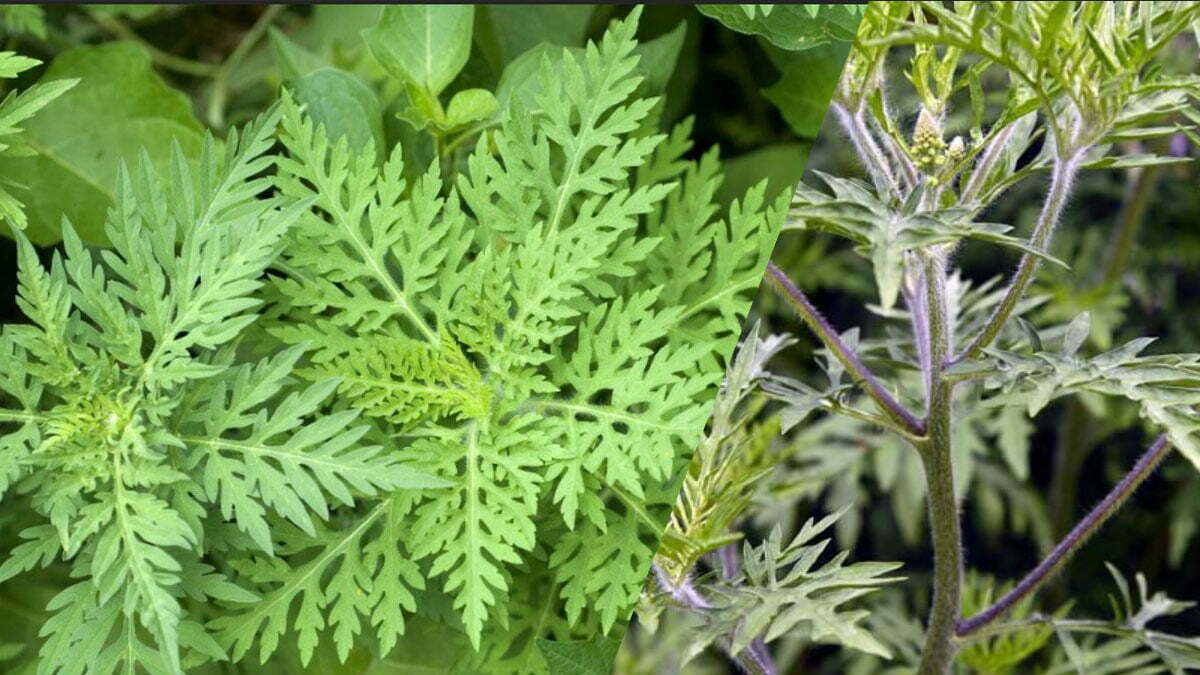 How to recognize and get rid of ambrosia ragweed https://organicgardeningeeek.com