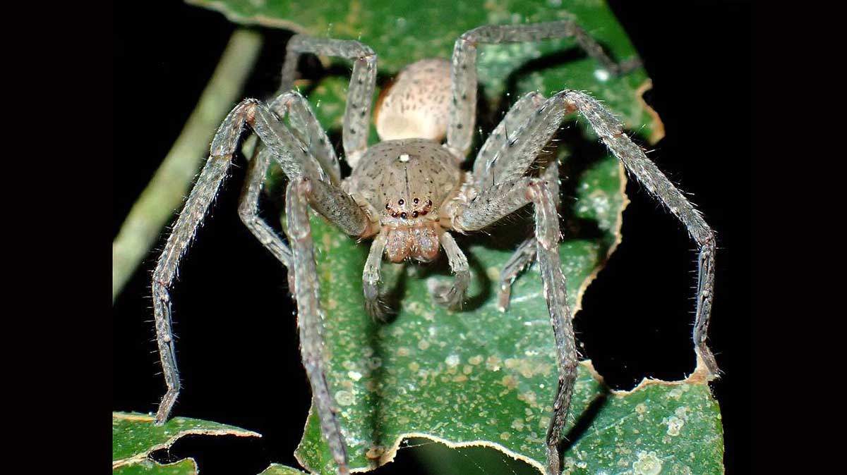 thunberga spider. the thunberga greta spider is the new species discovered https://organicgardeningeek.com