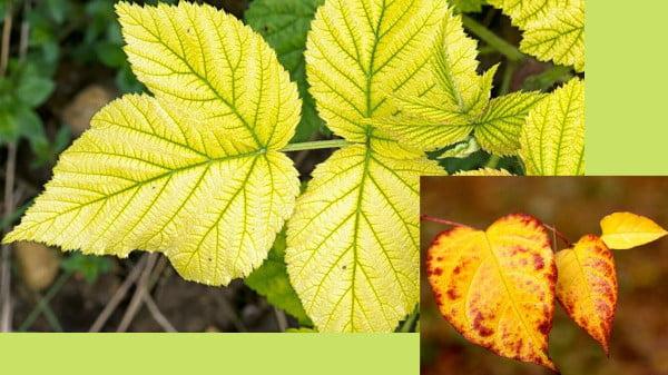 Fixing yellow leaves on plants properly https://organicgardeningeek.com