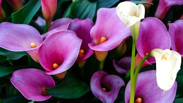 how to properly care for the calla lily plant at home? https://organicgardeningeek.com