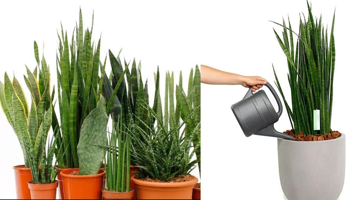 snake plant care tips https://huglero.com