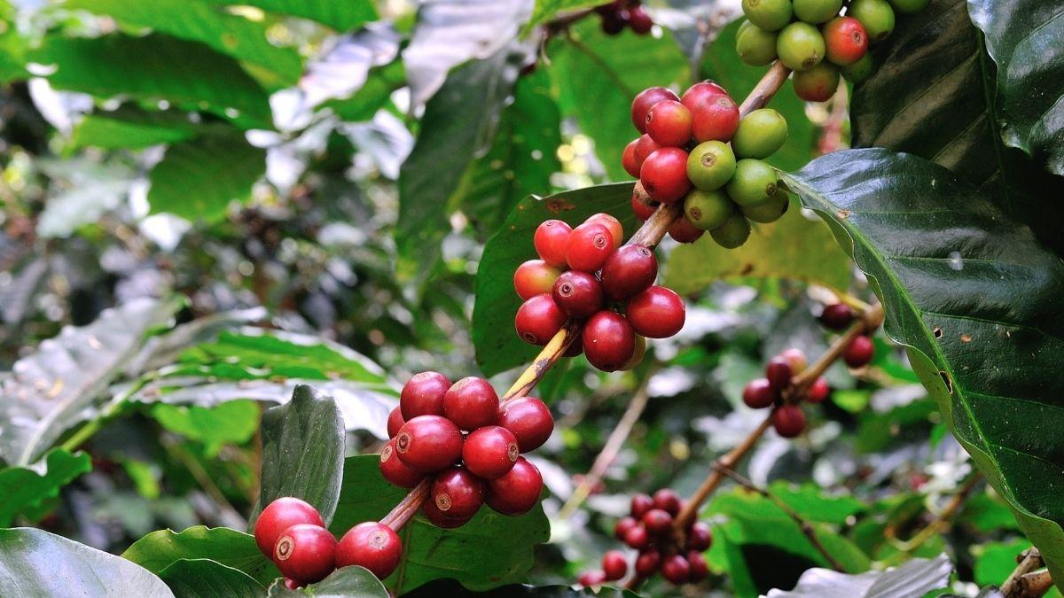 The best way for indoor coffee growing https://organicgardeningeek.com