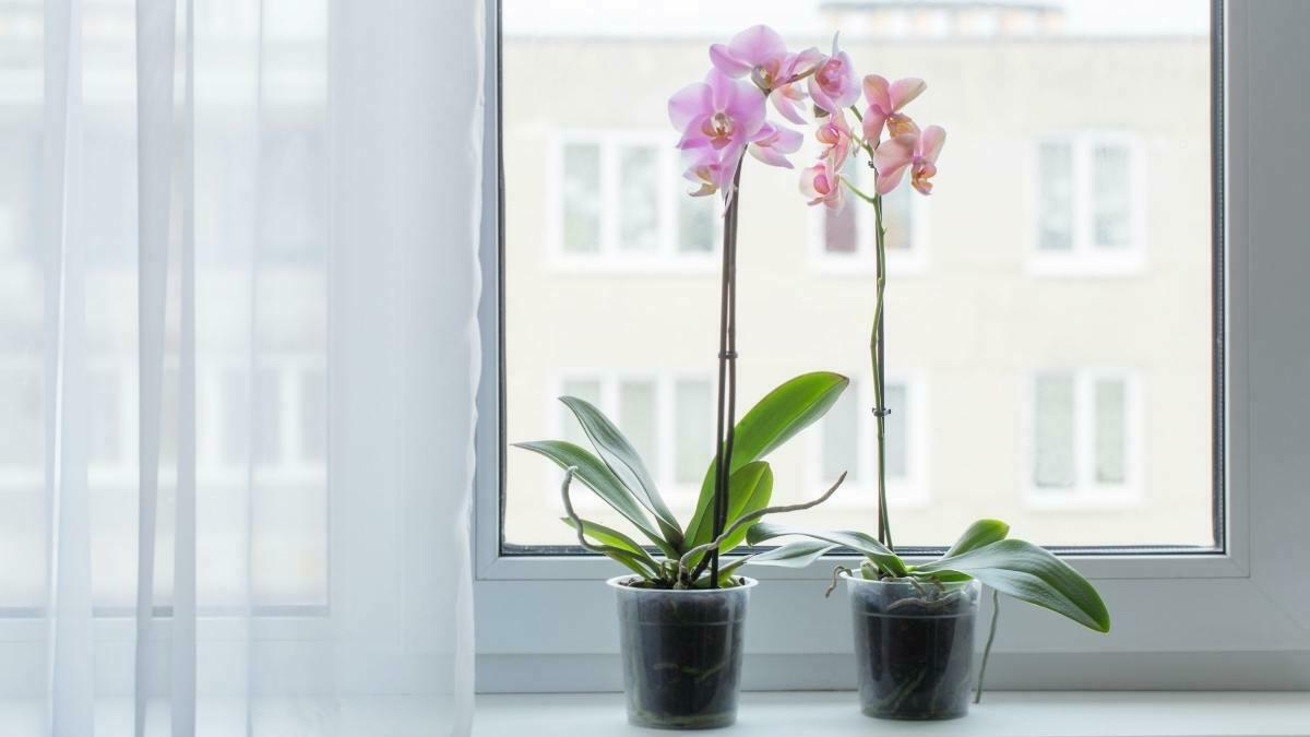 Growing orchids indoors - how to grow orchids indoors phalaenopsis https://organicgardeningeek.com