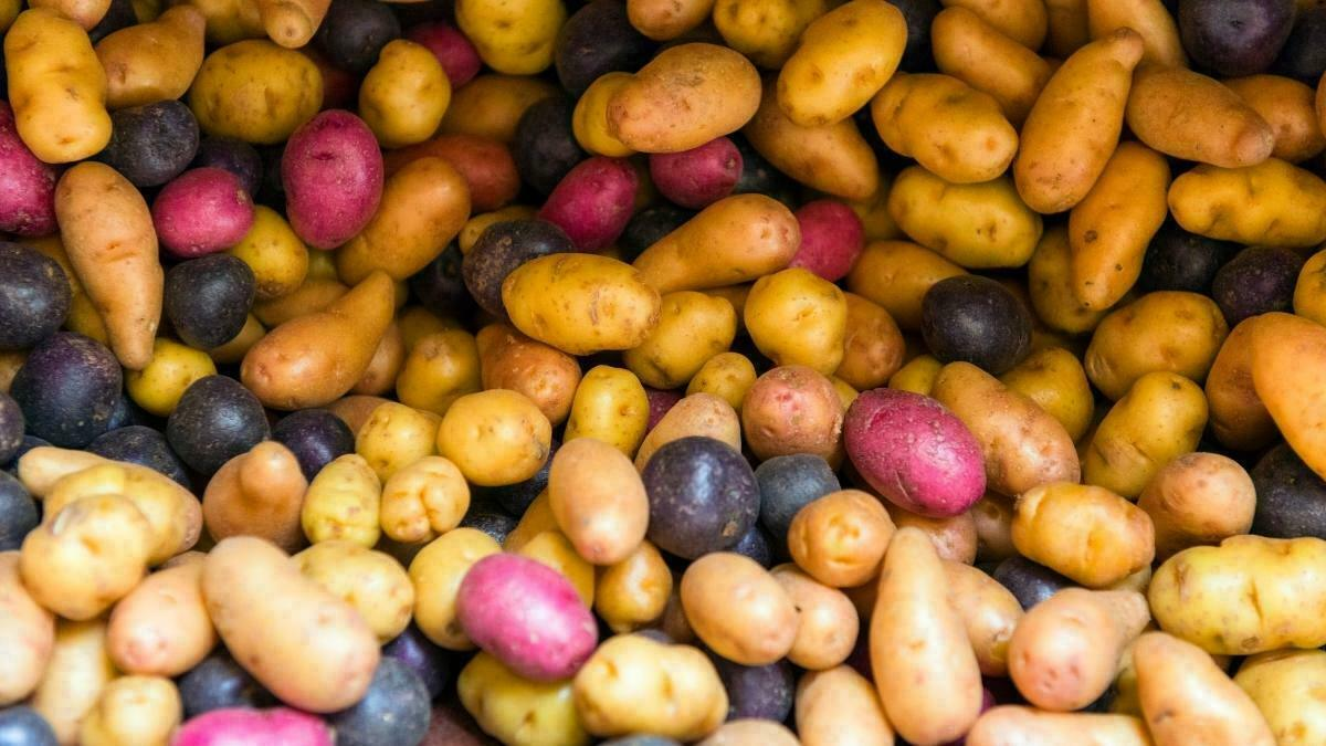 Growing Potatoes Indoors - designer potatoes https://organicgardeningeek.com