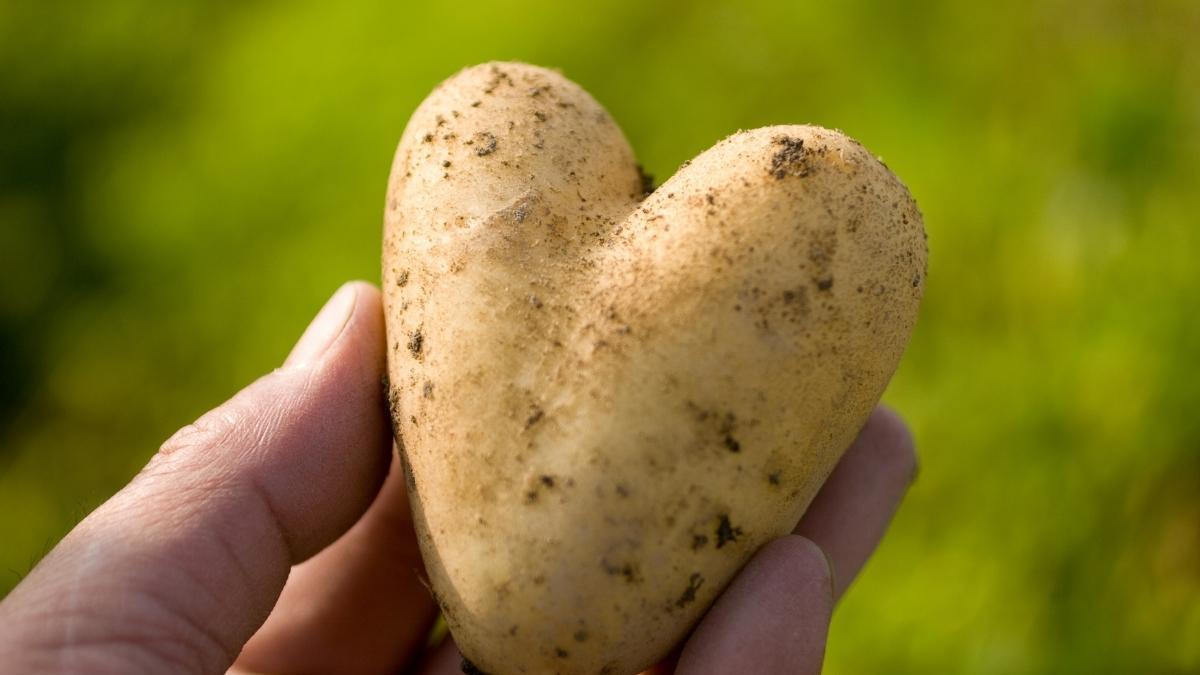 How to grow potatoes indoors https://organicgardeningeek.com