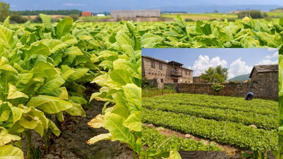 Growing tobacco indoors the right way https://organicgardeningeek.com