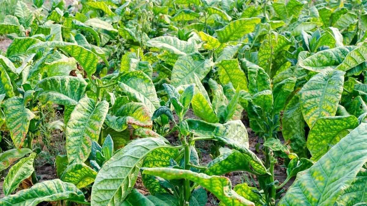 Best Way For Growing Tobacco Indoors - how to grow tobacco properly https://organicgardeningeek.com