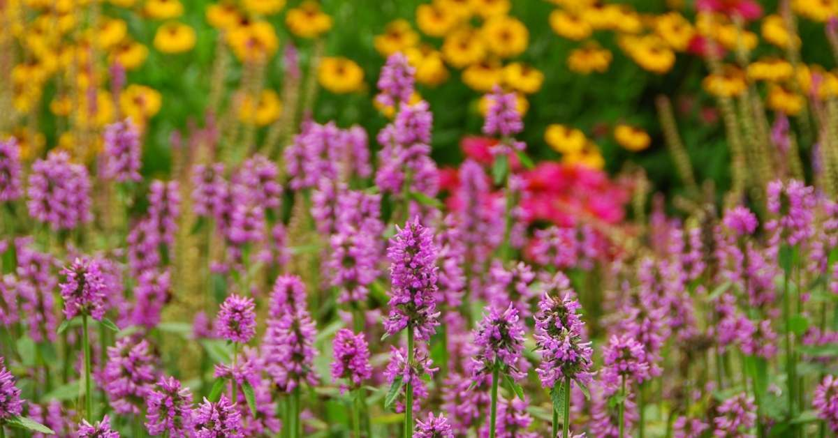 Agastache Mexicana (Annual Hyssop), Agastache nepetoides (Yellow Giant Hyssop) and Agastache rugosa (Giant Hyssop) how to propagate them? https://organicgardeningeek.com