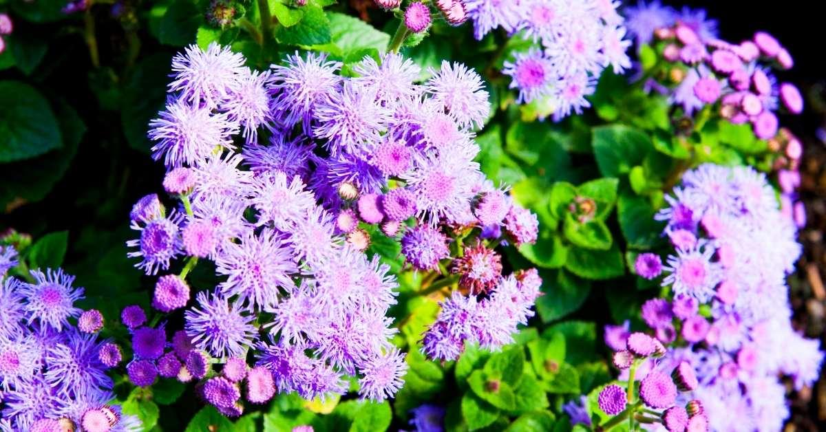What to Plant with gerbera daisies - Ageratum https://organicgardeningeek.com