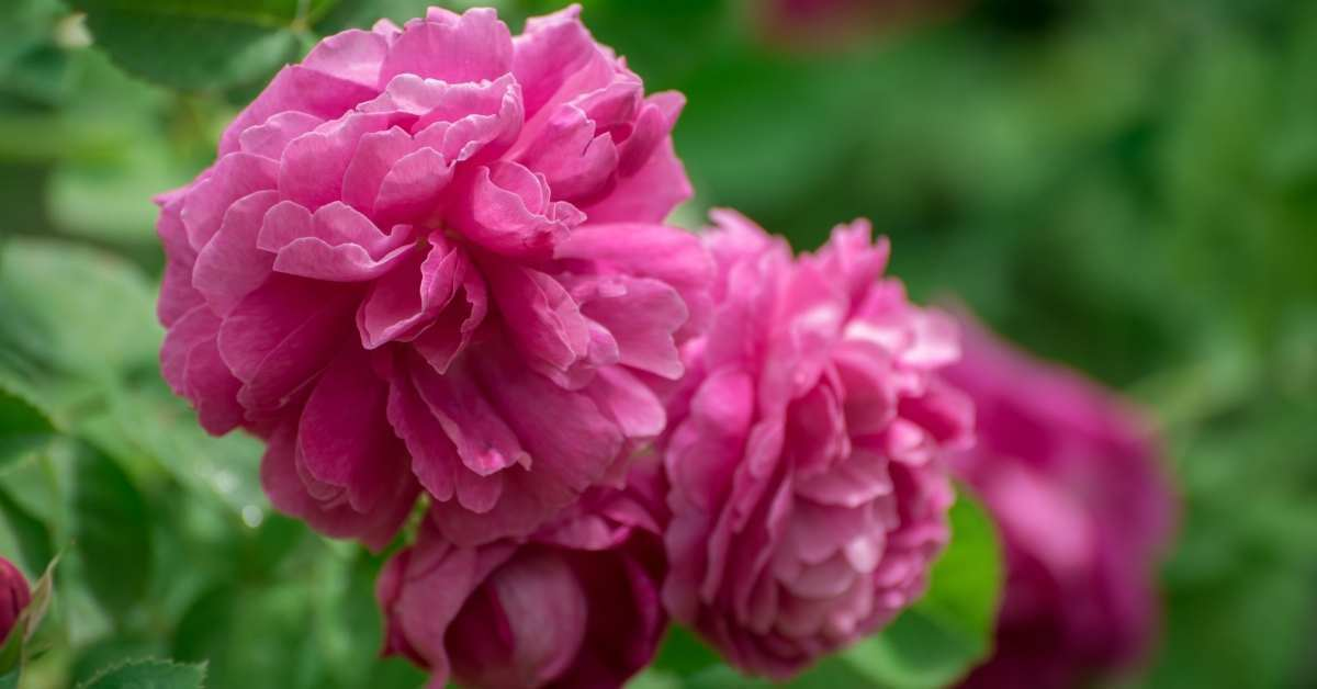 Antique Roses 1 - All about sustainable and organic gardening tips and tricks. 2021 - antique rose,how to care for antique roses,antique rose emporium,where to buy antique roses,antique rose florist - https://organicgardeningeek.com/how-to-care-for-antique-roses/