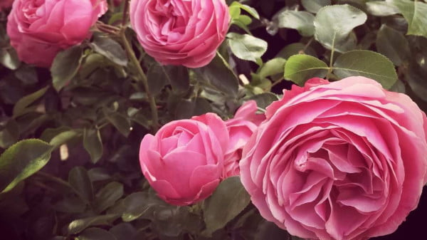 antique roses growing and care - Optaining rose from antique rose emperum and planting https://organicgardeningeek.com