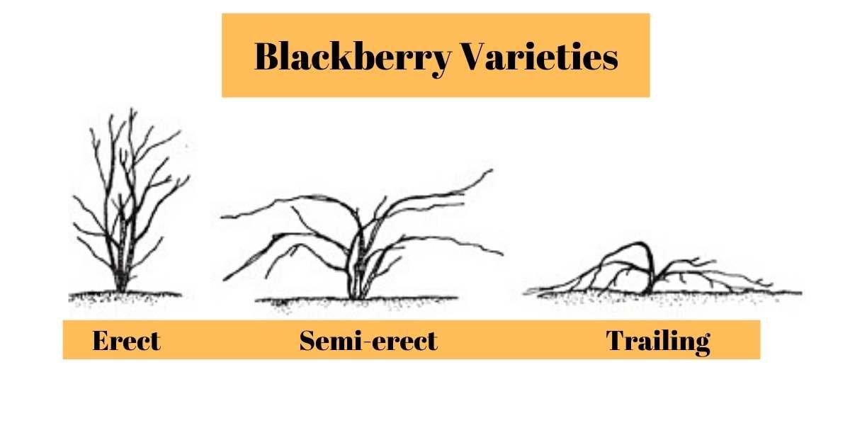 Blackberry varieties - what is the most wanted and planted blackberry kind https://organicgardeningeek.com