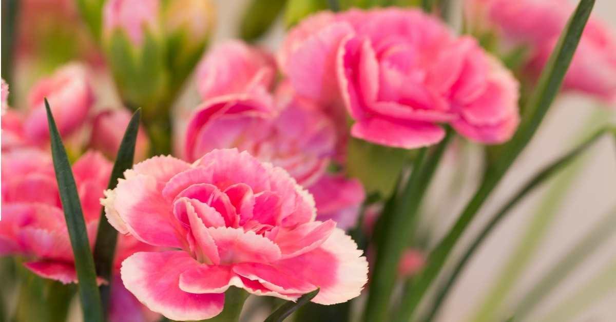 Carnations - Fragrant Flowers https://organicgardeningeek.com