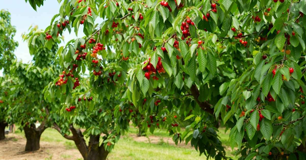 Cherry tree - All about sustainable and organic gardening tips and tricks. 2021 - Fruit and Nut Trees to Grow,zone 5 plants,how long does it take for a tree to grow,zone 9 perennials,zone 5 perennials - https://organicgardeningeek.com/zone-5-perennials-fruit-and-nut-trees-to-grow/