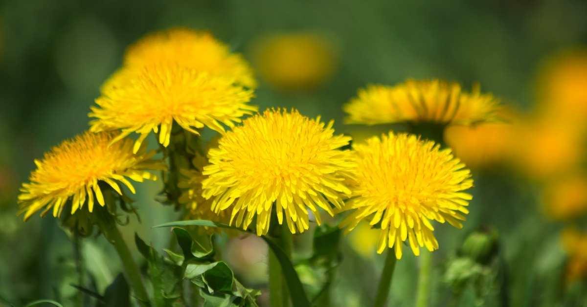 Dandelions edible weed from the garden -7 Best Weed Edibles | Edible Weeds from the Garden https://organicgardeningeek.com