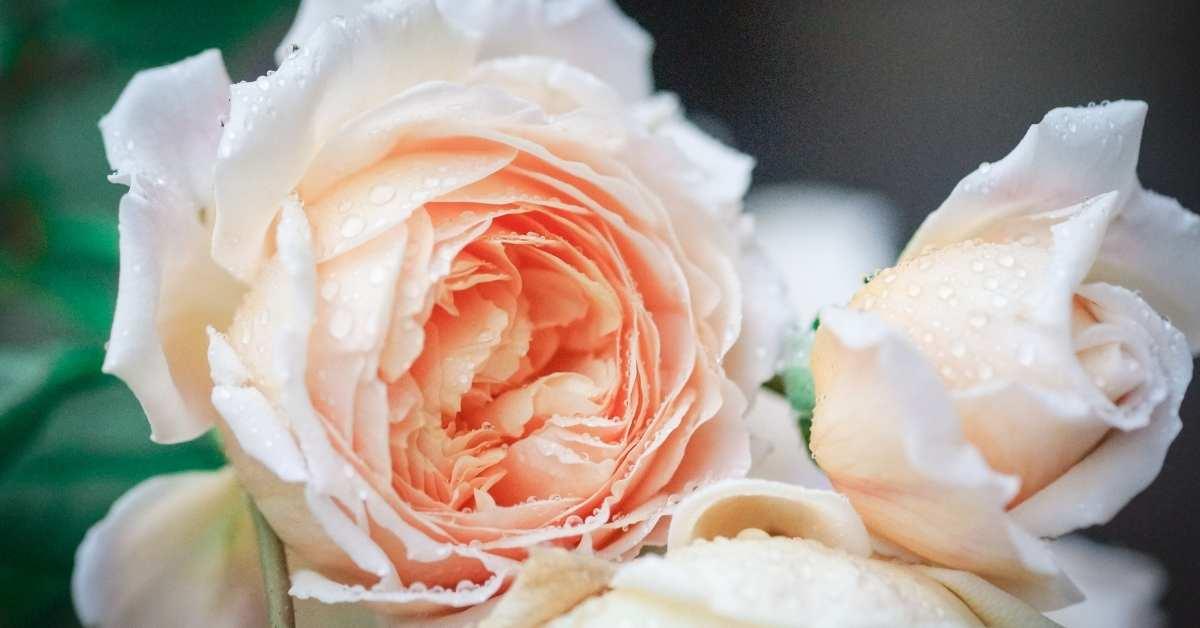 Best Roses For Hedges - David Austin Roses – English Roses https://organicgardeningeek.com