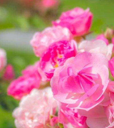 The best floribunda rose you can plant today https://organicgardeningeek.com