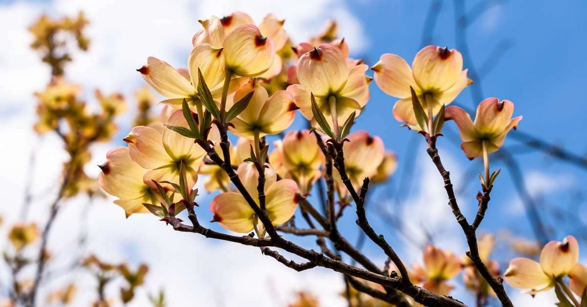 how to plant a dogwood tree - 10 Tips For Growing and Caring Dogwood https://organicgardeningeek.com
