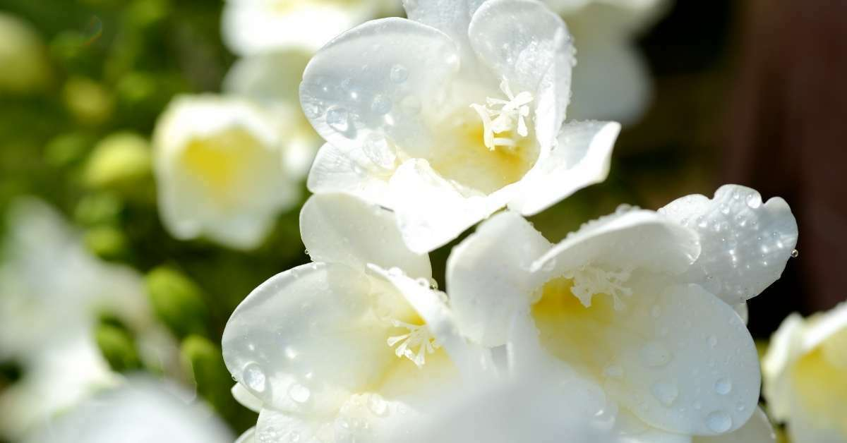 Freesia -which fragrant flower is used to adorn the hair of woman and blossoms in summer  https://organicgardeningeek.com
