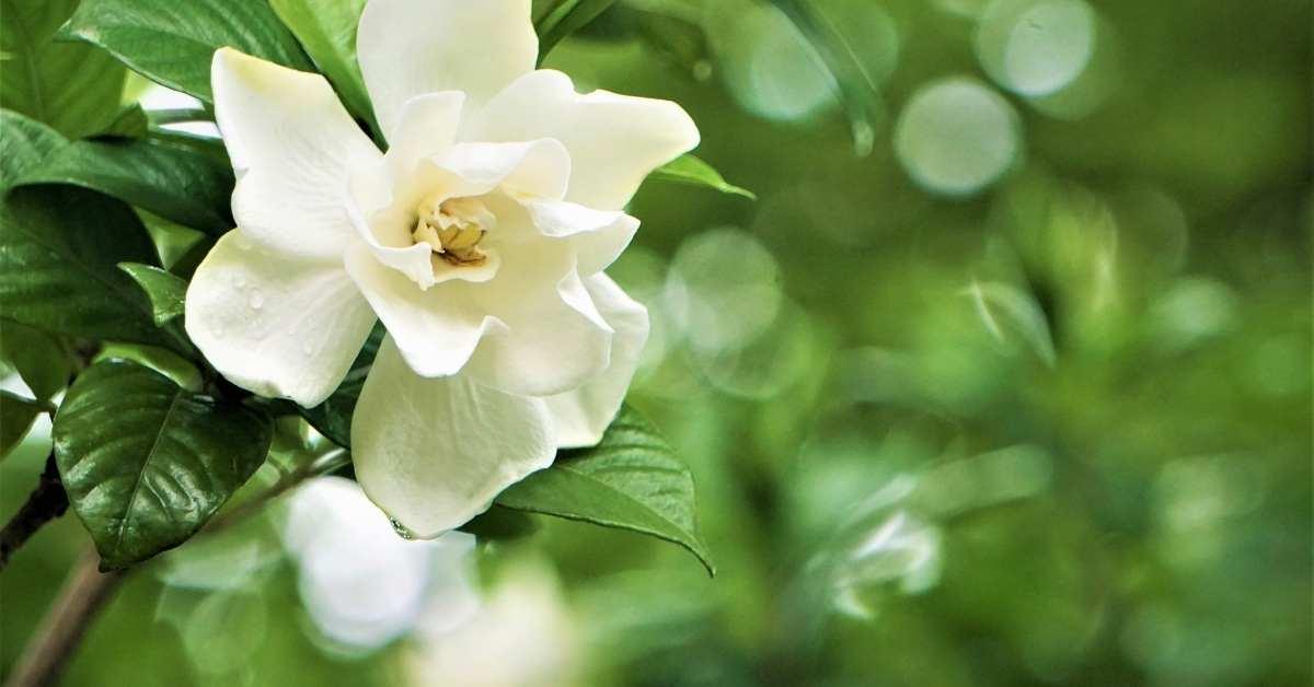Gardenias -which fragrant flowers are used in garden https://organicgardeningeek.com