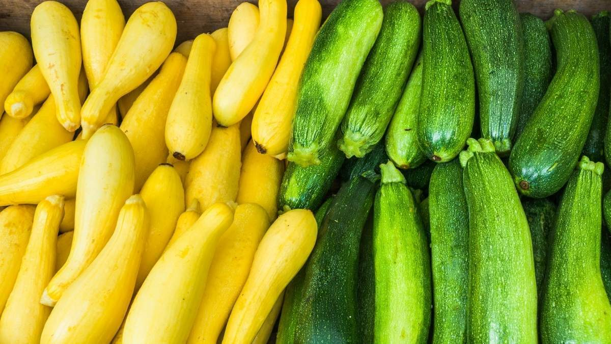 Grow The Best Summer Squash 2 - All about sustainable and organic gardening tips and tricks. 2021 - How To Grow The Best Summer Squash,Grow Summer Squash,how to grow zucchini squash in containers,how to grow zucchini squash from seed,organic growing - https://organicgardeningeek.com/tips-on-how-to-grow-the-best-summer-squash/