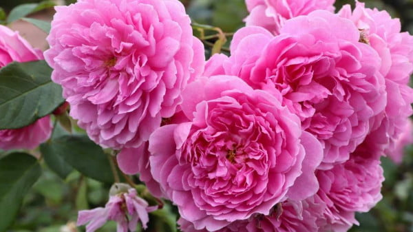 Best roses for hedges you need to plant now https://organicgardeningeek.com