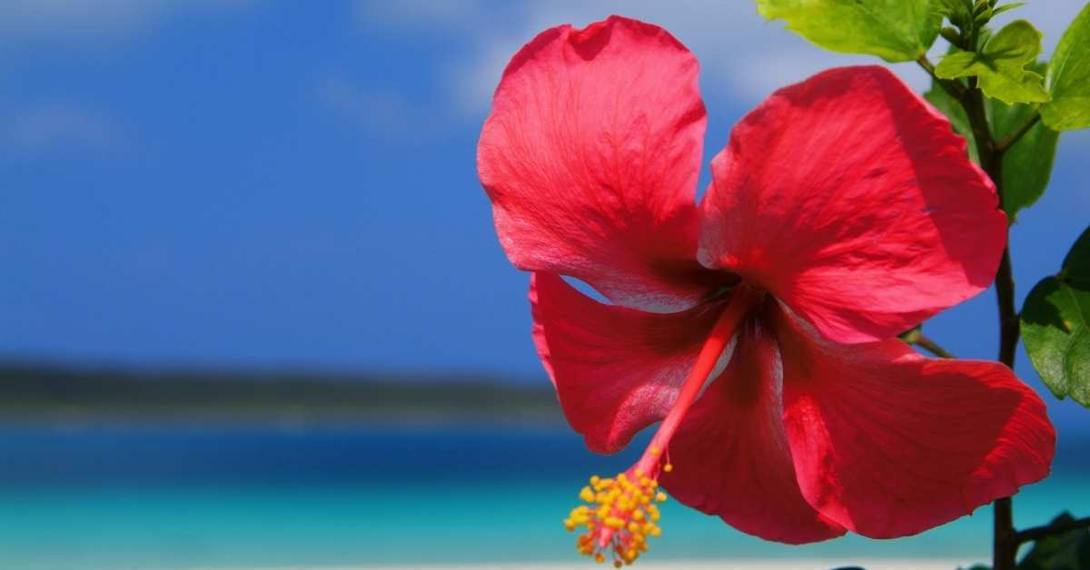 how to take care of hibiscus plant -  Hibiscus poisonous to dogs and cats https://organicgardeningeek.com