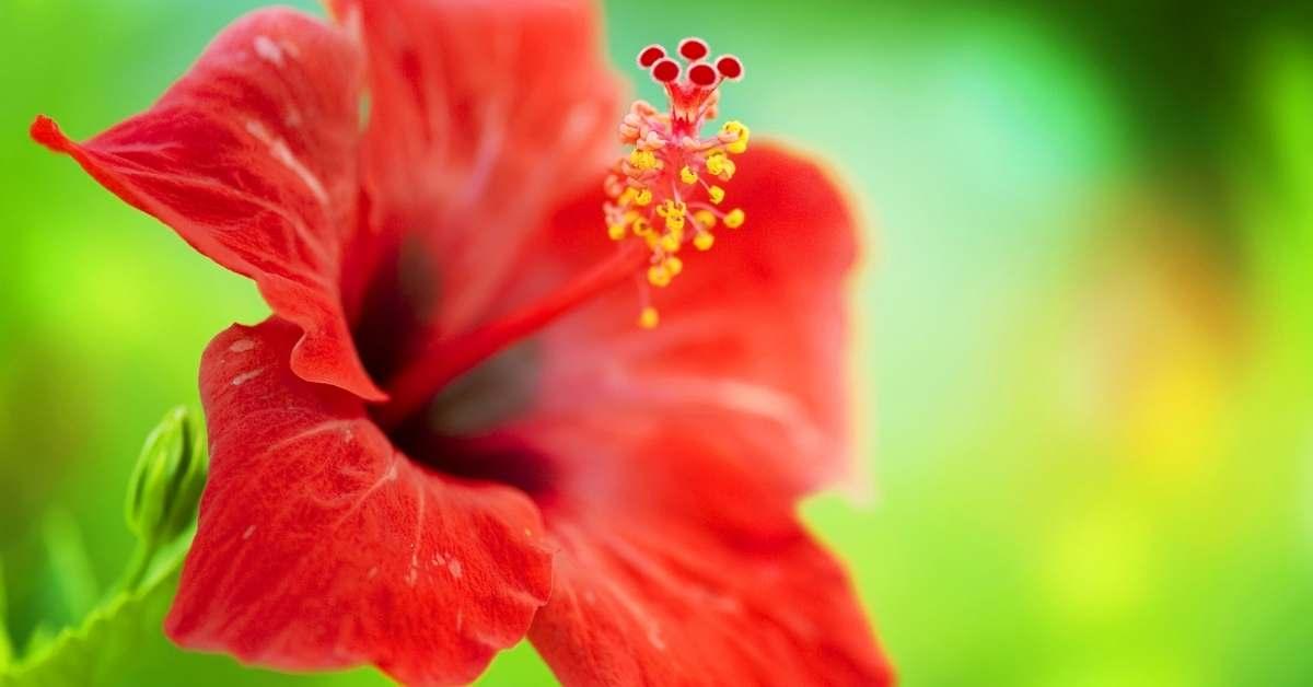 growing hibiscus in pots, indoors and outdoors. https://organicgardeningeek.com