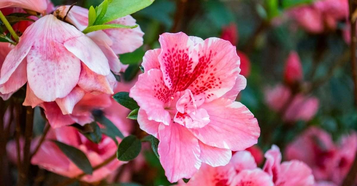 Growing Hibiscus Plants in pots and containers. https://organicgardeningeek.com
