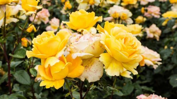 Yellow fragrant roses https://organicgardeningeek.com