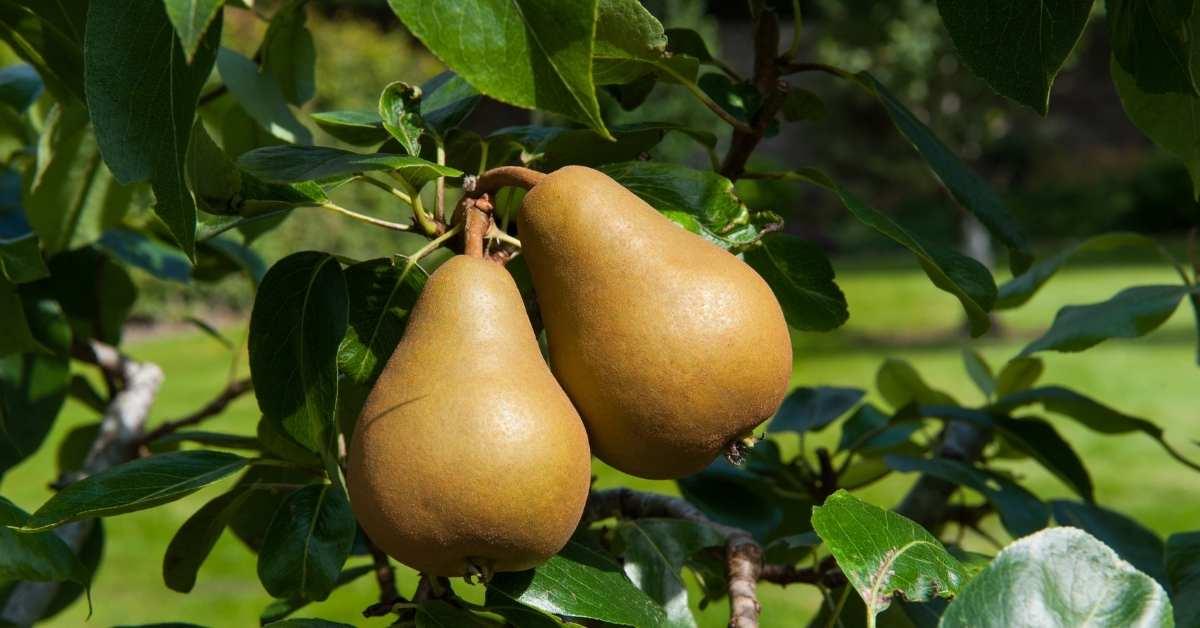 Kieffer pear tree to grow in my zone https://organicgardeningeek.com