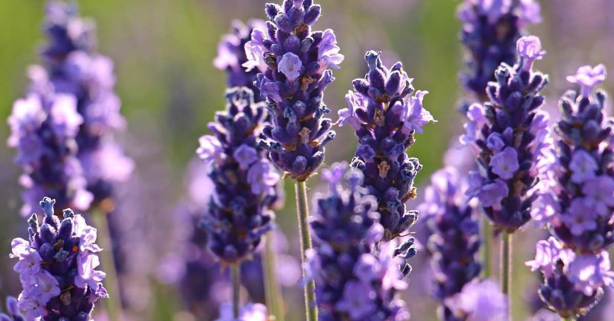 Lavender  https://organicgardeningeek.com