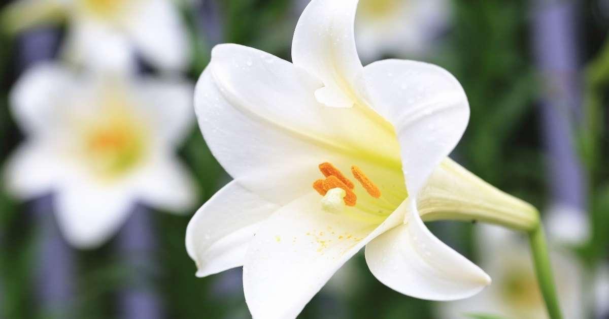 Lilies  https://organicgardeningeek.com