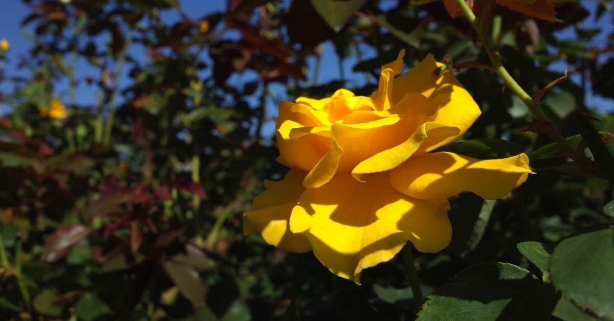 Hybrid Tea Roses - Midas touch https://organicgardeningeek.com