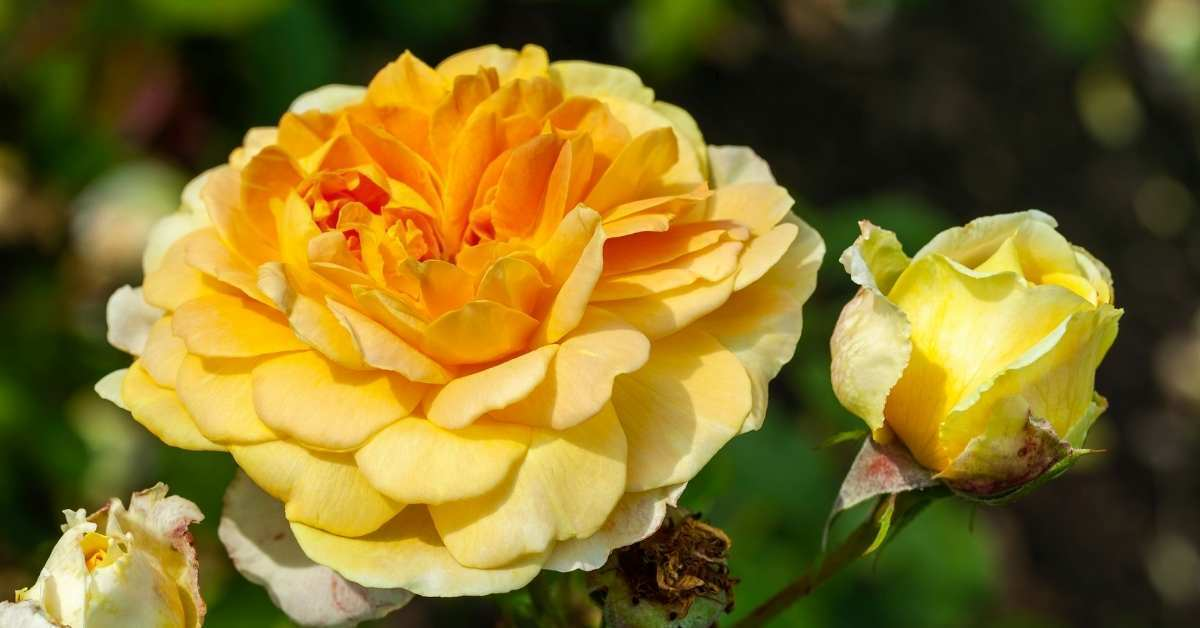 Delicate rose care - How to care roses properly in your garden https://organicgardeningeek.com