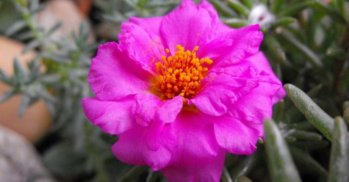What to Plant with gerbera daisies - Moss roses - gerbera daisy plant https://organicgardeningeek.com