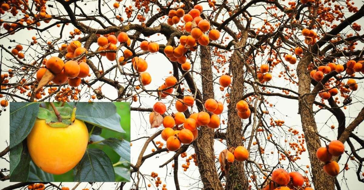 Persimmon Trees (Sharon Fruit) for Zone 5-8 : zone 5 plants https://organicgardeningeek.com