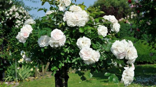 Rose shrubs benefits https://organicgardeningeek.com